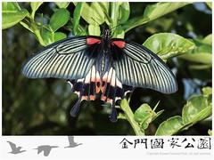 大鳳蝶雌蟲(有尾型).jpg