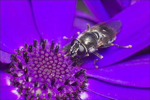 Cheilosia caerulescens?