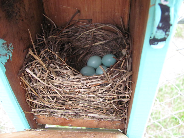 Bluebirds make blue eggs 1