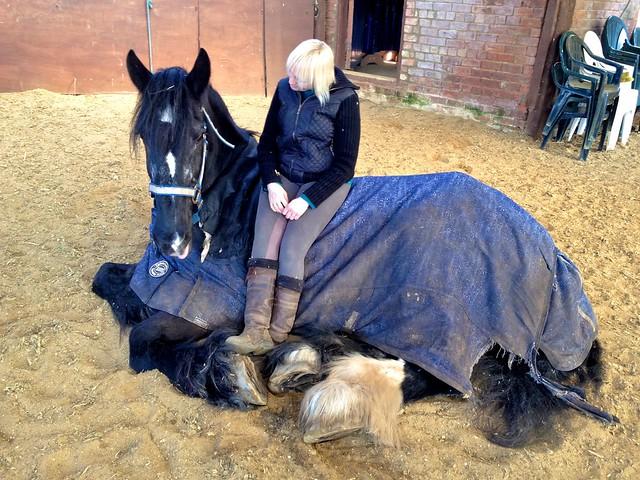 shire horse zucht
