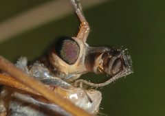 Gallinipper mosquito, Close up of Crane Fly