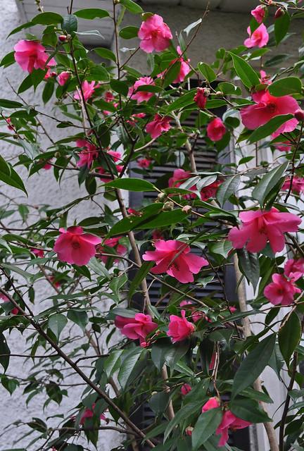 Camellia japonica 'Crimson Candles'
