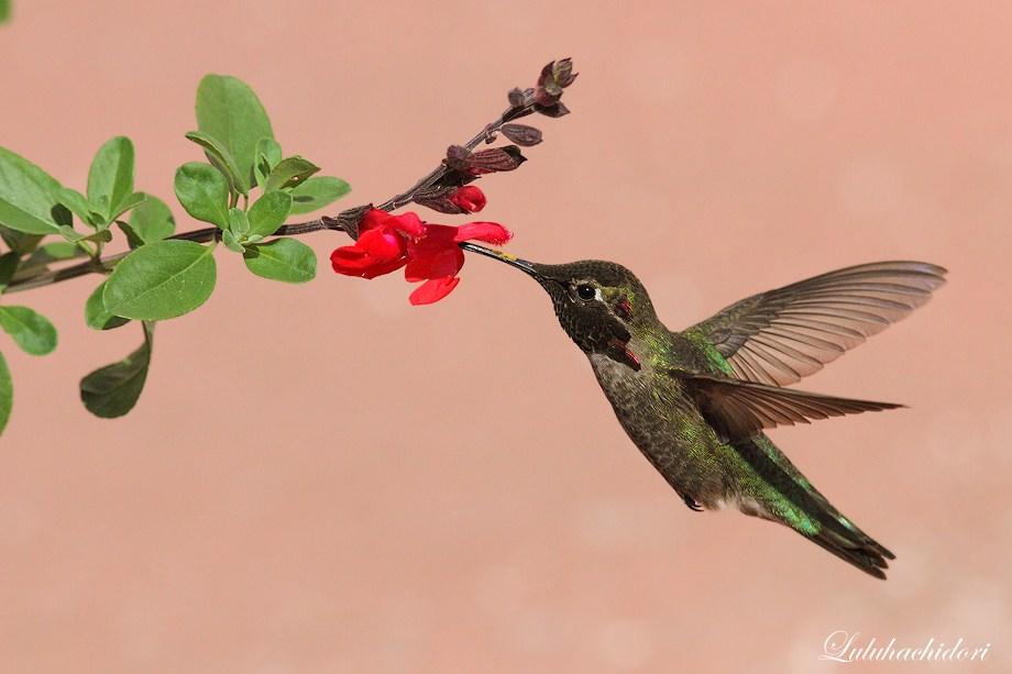 Anna's Hummingbird050112-4
