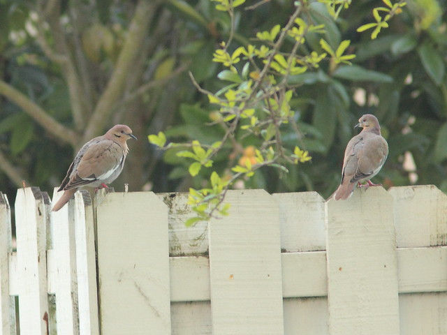 White-winged Doves 20120316