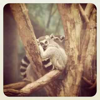 Leaping Lemurs.