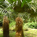 These are called old man palms :). They are so shaggy.  Botanic Gardens in Puerto Viejo, Costa Rica 29APR12