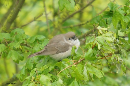 The Garden Warbler by julian sawyer