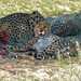 Small photo of Cheetahs (Acinonyx jubatus)