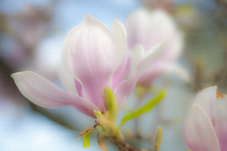 Painterly Magnolia