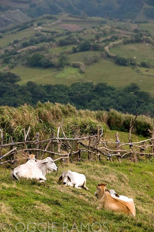 Batanes - Mahatao Cows