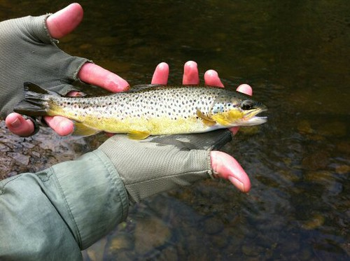 Small trout
