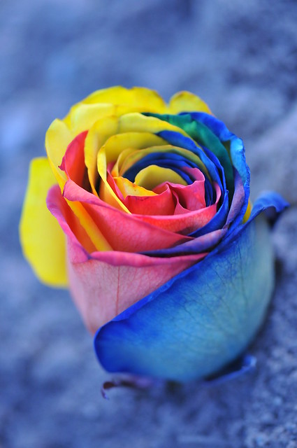 Rainbow rose explore flickr photo sharing for How to color roses rainbow
