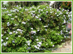 Plumbago auriculata (Blue/Cape Plumbago) trained over a chain-link fence in the neighbourhood. Shot June 2011