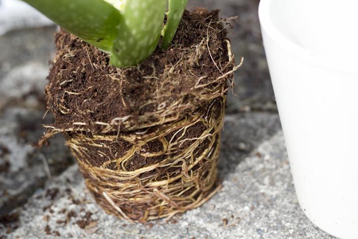 Roots. Re-potting Plants.