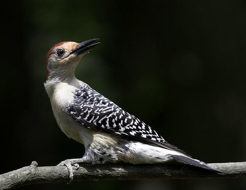 Red-bellied Woodpecker by Renda ...