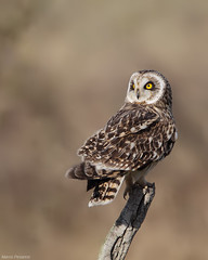 Short eared Owl (Perched) Explored