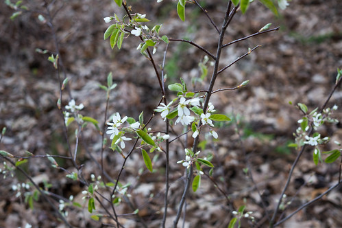 01840 Serviceberry Flowers