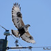 Rough-legged Hawk DSC_2850 by Ron Kube Photography