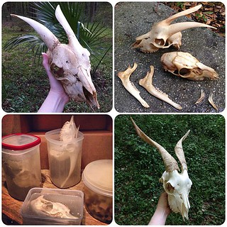 BONELUST BONE PROCESSING PROGRESS: First Adult Goat Skull processing progression photos & timeline.