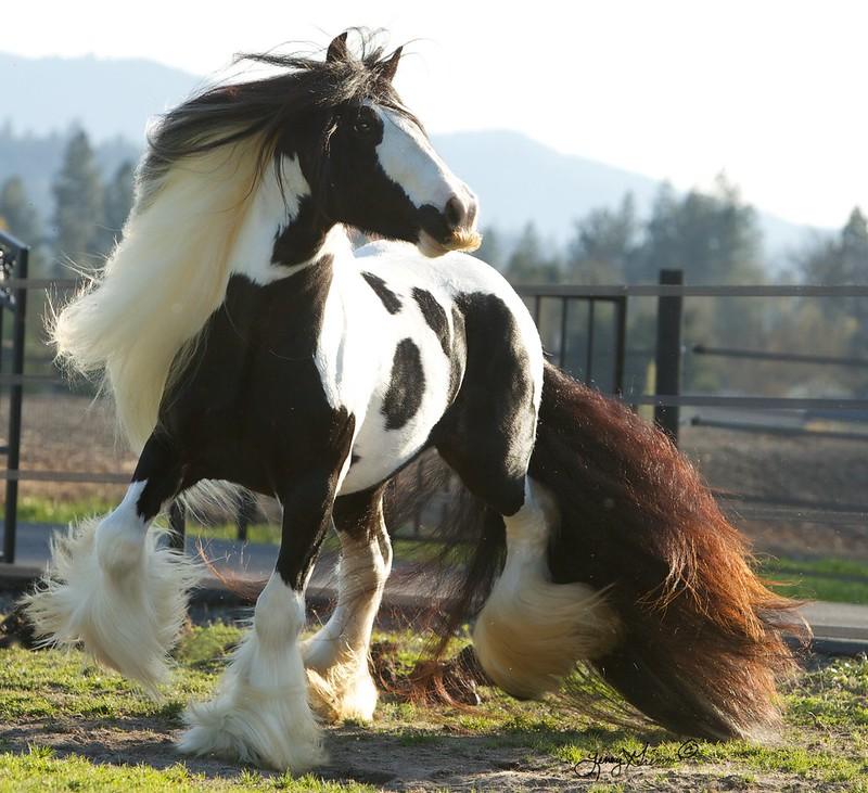 S D Patrick, Gypsy Stallion