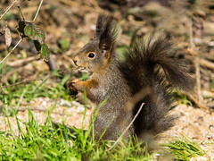 Genève, mars,écureuils