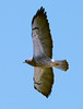 swainsons_hawk_20140413_130-Edit