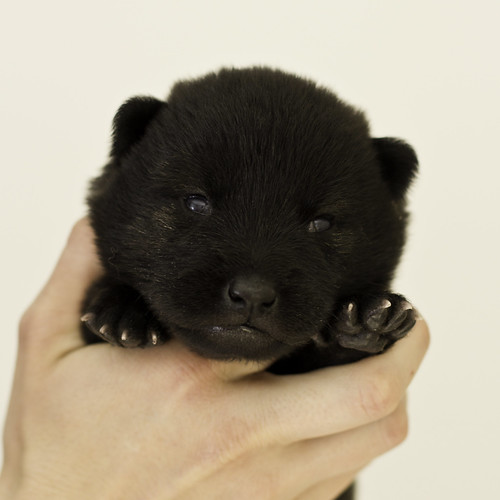 Ayui-Litter4-Day20-Puppy1-Male-a