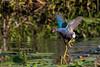 Purple Gallinule running