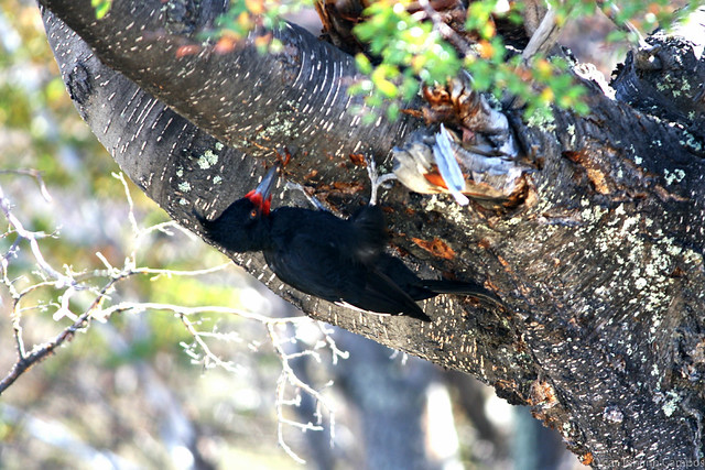 Carpintero Negro - Magellanic Woodpecker