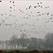 Barnacle Geese in flight