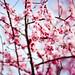 桜 :: Sakura