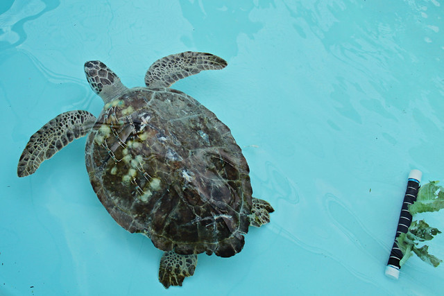 Loggerhead marine life center 15
