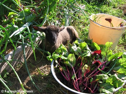 In My Kitchen Garden How To Grow Beets From Seed Why You Should