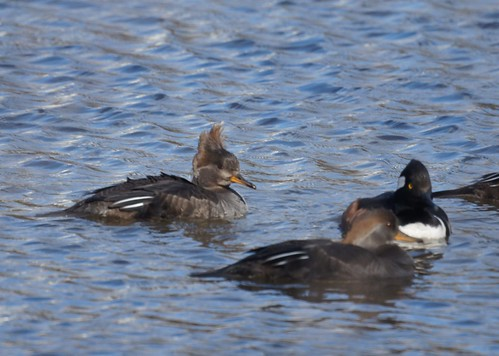 Hooded Mergansers on Lake Nelson