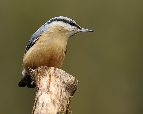 Nuthatch by Longsider
