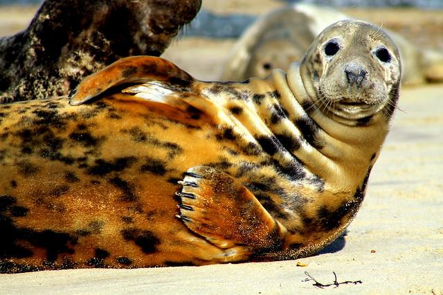 Tiger Seal   Flickr - ...