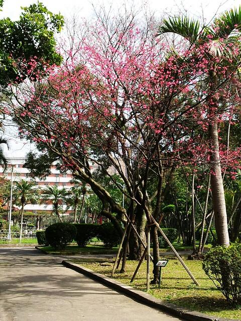 2012-02-14櫻花