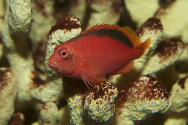 Flame Hawkfish Neocirrhites armatus