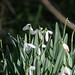 My first sight of snowdrops.