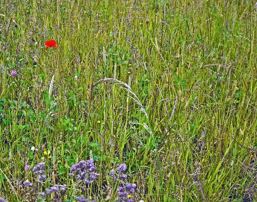 Symbolic Poppy
