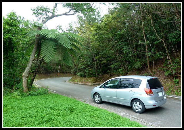 TROPICAL CLOVER AND PRIMITIVE FERN ALONG A FOREST ROAD IN OKINAWA