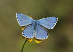 UK Butterflies