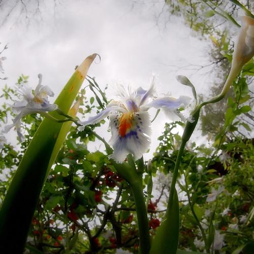 Iris JaponicaⅡ