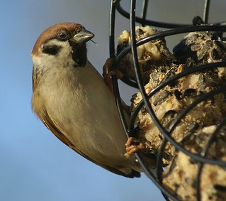 Tree Sparrow on the round feeder