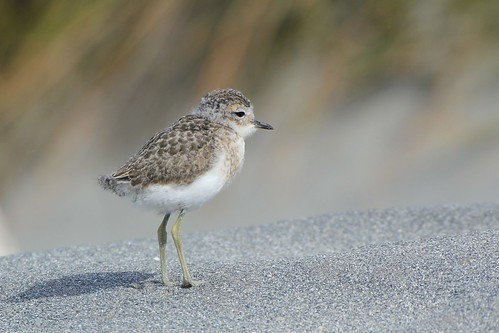 Small Banded dotterel on the beach