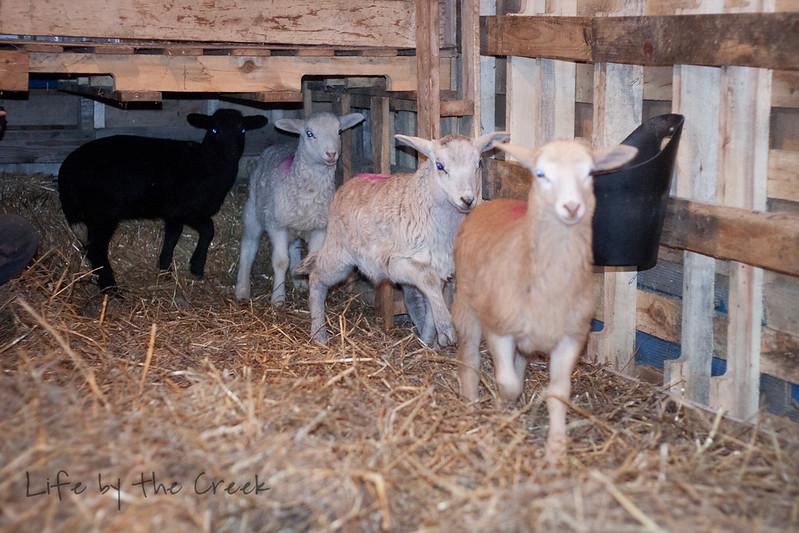 Lambs-0075.jpg