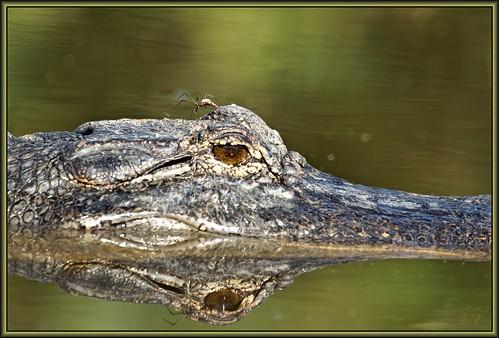 nature spider texas gator reptile wildlife alligator bayou pasadena canoeing paddling flickrdiamond horsepenbayou wanam3