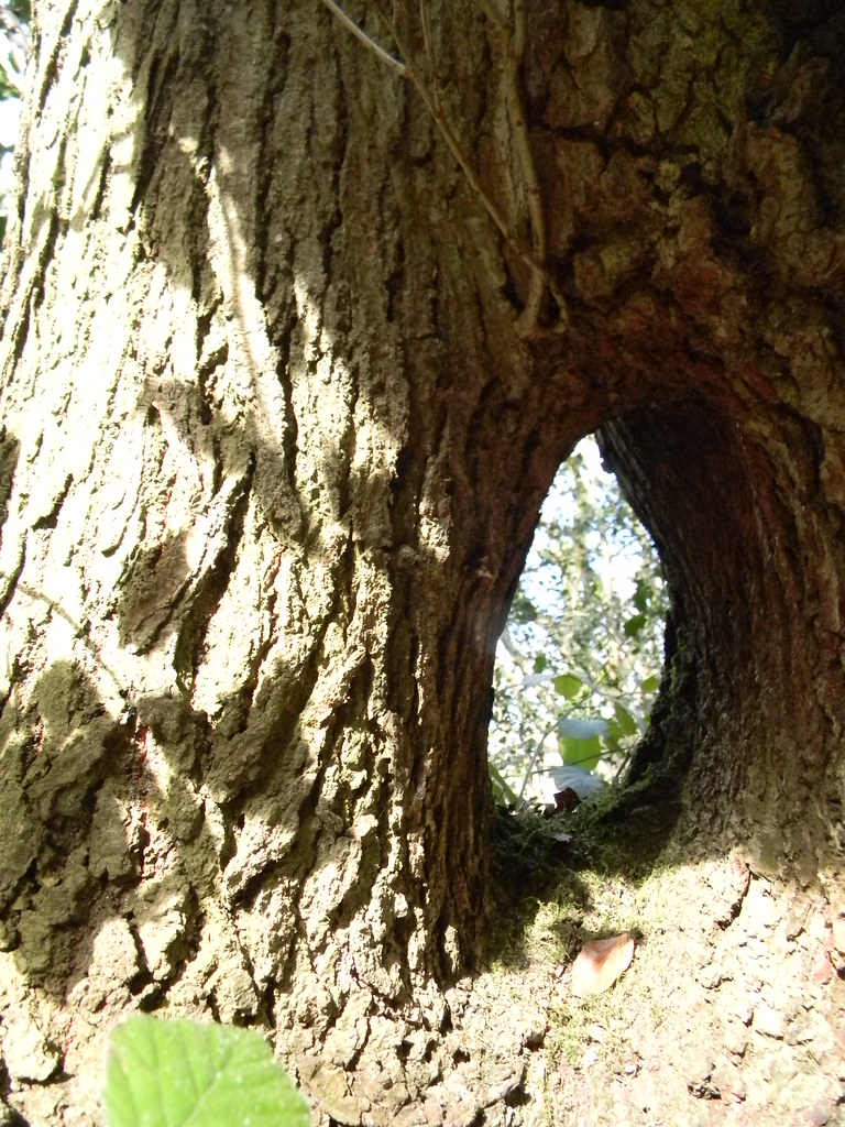 Hole through a tree Whyteleafe to Woldingham