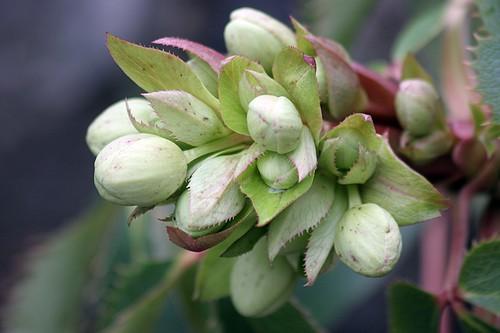 Helleborus argutifolius buds