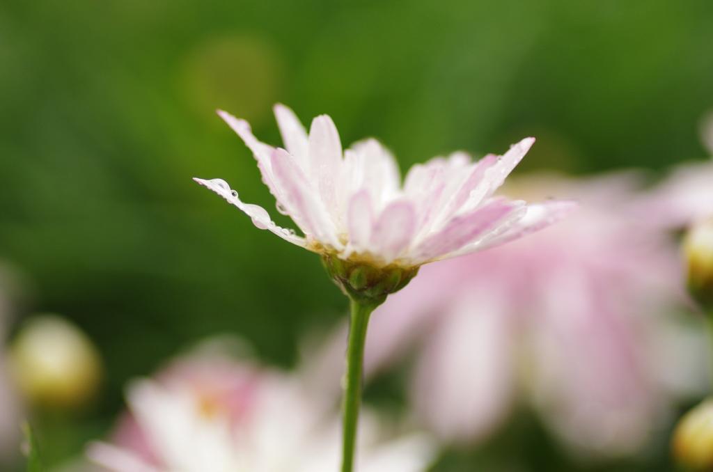 陰雨天的陽明花季